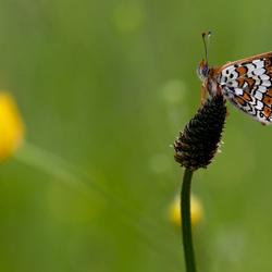 Veldparelmoer vlinder-