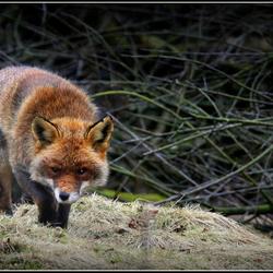 echte wilde sluwe vos