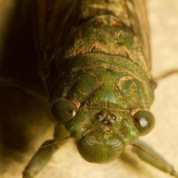 mr. Cicadidae