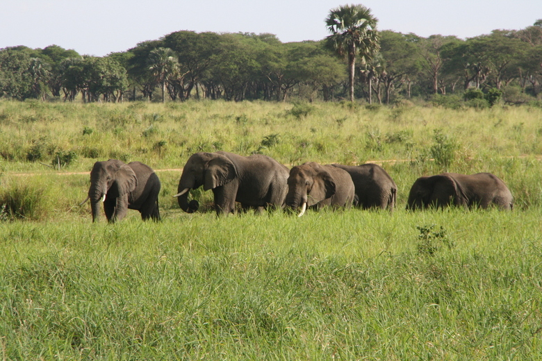 olifanten naast de weg - Olifanten naast de weg naar Pakwach, Uganda.