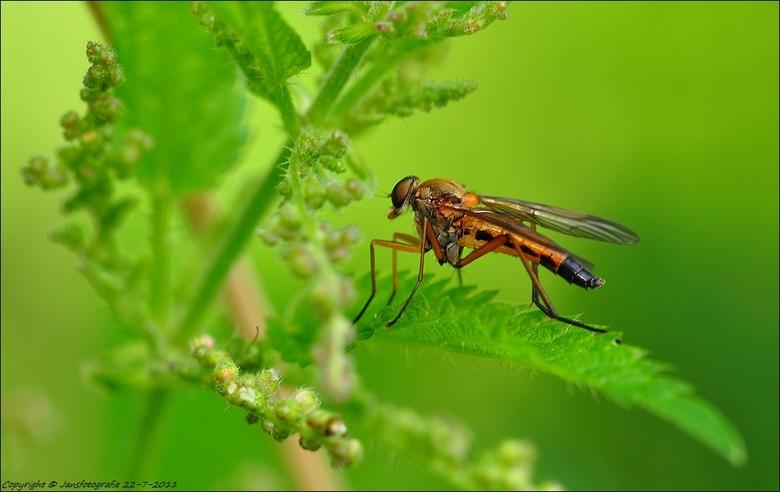 De snavelvlieg (Rhagio scolopaceus)  - bedankt voor de rea .op m,n vorige foto.<br /> met de titel Sprutter.<br /> <br /> en ieders een heel goed w
