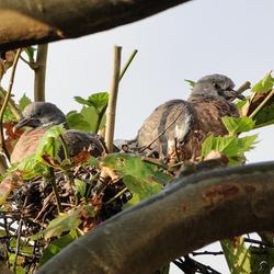 DSC08545 twee jonge duiven 150914 z.jpg