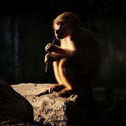 Jonge mantelbaviaan in het zonlicht