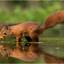 Eekhoorn natte voetjes 250817(4***)