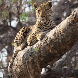 Luipaard houdt de wacht