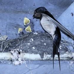 zwaluw nest