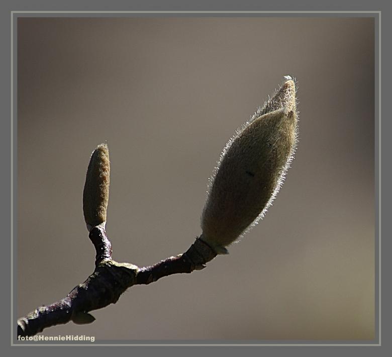 In de knop - Magnoliaknop<br />  Deze was nog mooi in de knop.<br />  was nog voor een paar dagen terug.<br /> <br />  Bedankt voor de vorige reac