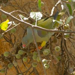Afrikaanse Papegaaiduif (Zuid Afrika)