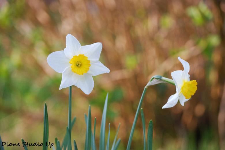 Springtime - Ook deze fraaie narcissen waren helemaal klaar voor het begroeten van de zon...<br /> <br /> 13-04-2009