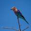 lilac-breasted roller ..