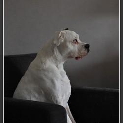 Elsje, witte boxer II