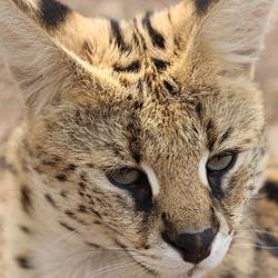 Serval kat