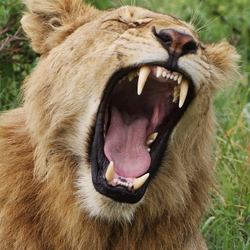 The lion yawns tonight