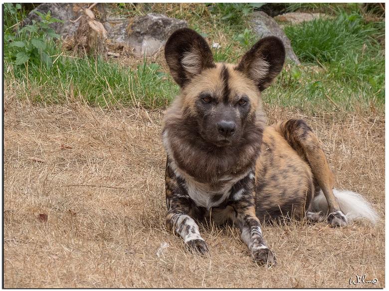 Wilde hond - Eindelijk heb ik deze wilde hond in de Beekse Bergen goed kunnen fotograferen.<br /> Meestal slapen ze of de zon is te fel voor de vacht