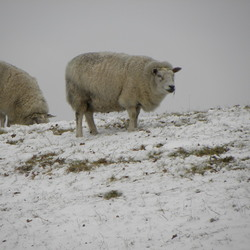 schaap in winters ridderkerk
