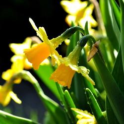 Hollandse lente