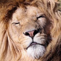 Lazy Lion!