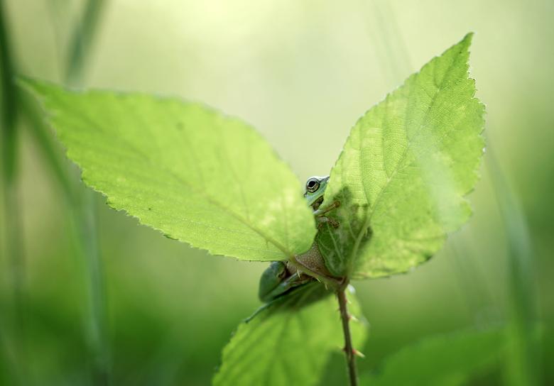 Sticky frog - Wonderlijk hoe de boomkikker aan een blad kan 'kleven'. Dank voor jullie reactie's op 'Tour trough the fields'.