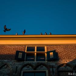 duiven op tempeliers huis d'Haene