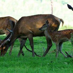 Familie Edelhert