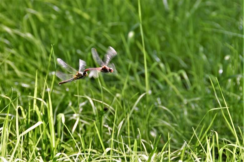 Koppel Libellen