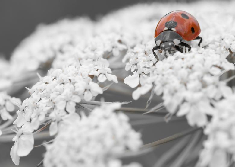Lievenheersbeestje - Lievenheersbeestje in kleur de rest zwart-wit, opname van ongeveer een maand geleden in het balij bos.