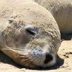 Zeeleeuwtje die zichzelf koel houdt door zand over zich heen te gooien.