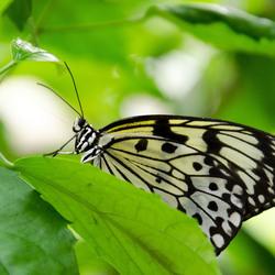 Vlinder @ Vlinders aan de Vliet