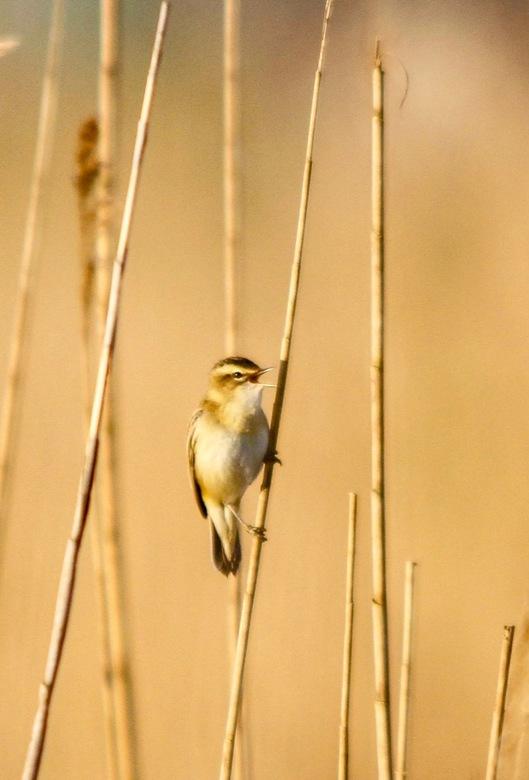 vogels in het riet -