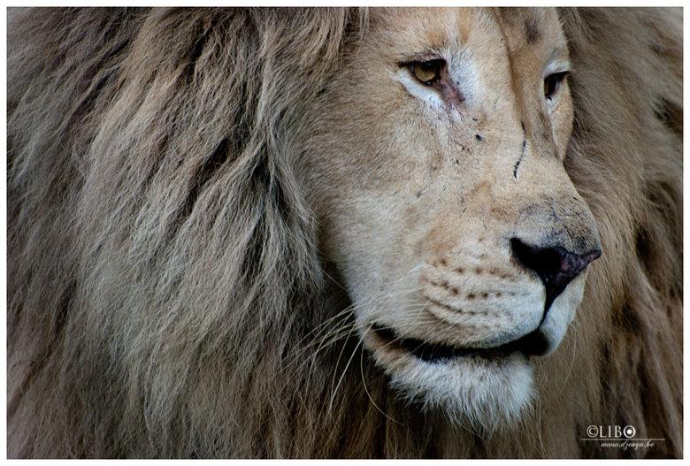 beschadigd door ouderdom - leeuw in olmense zoo
