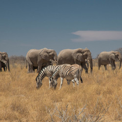 Elephants of Chobe