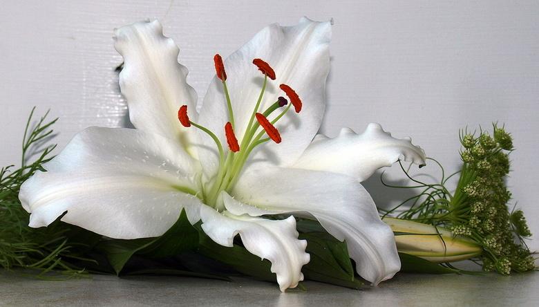 lelie - Het oude jaar wordt weer blinkend nieuw en schoon, zoals de witte lelie.<br /> Alle ZOOM vrienden en vriendinnen PRETTIGE JAARWISSELING.<br /