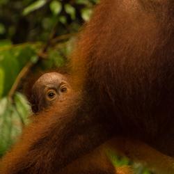 looking innocent, orangutan, Borneo (1 of 1)
