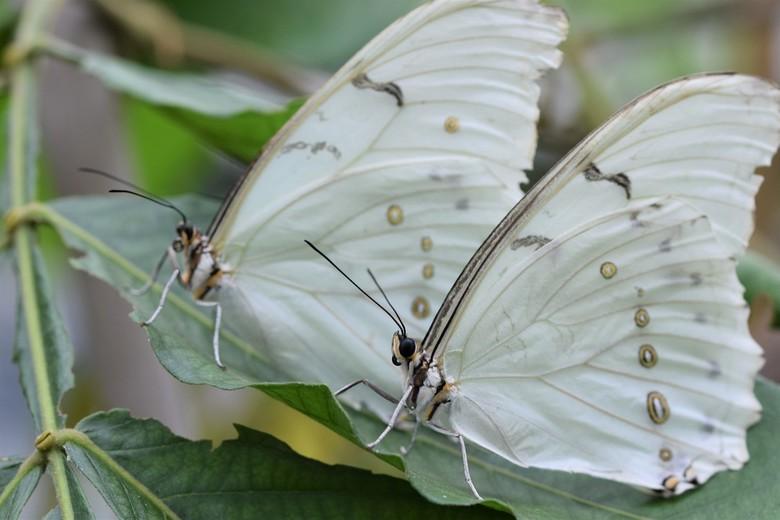 Witte Morfo's - Spiegelbeeld vertel eens even...<br /> Twee prachtige witte Morfo&#039;s. Een prachtige grote en zeldzame vlinder.