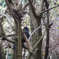 Merel in het kreupelhout-Foto Dick A.Otten-DAO Fotoarchief