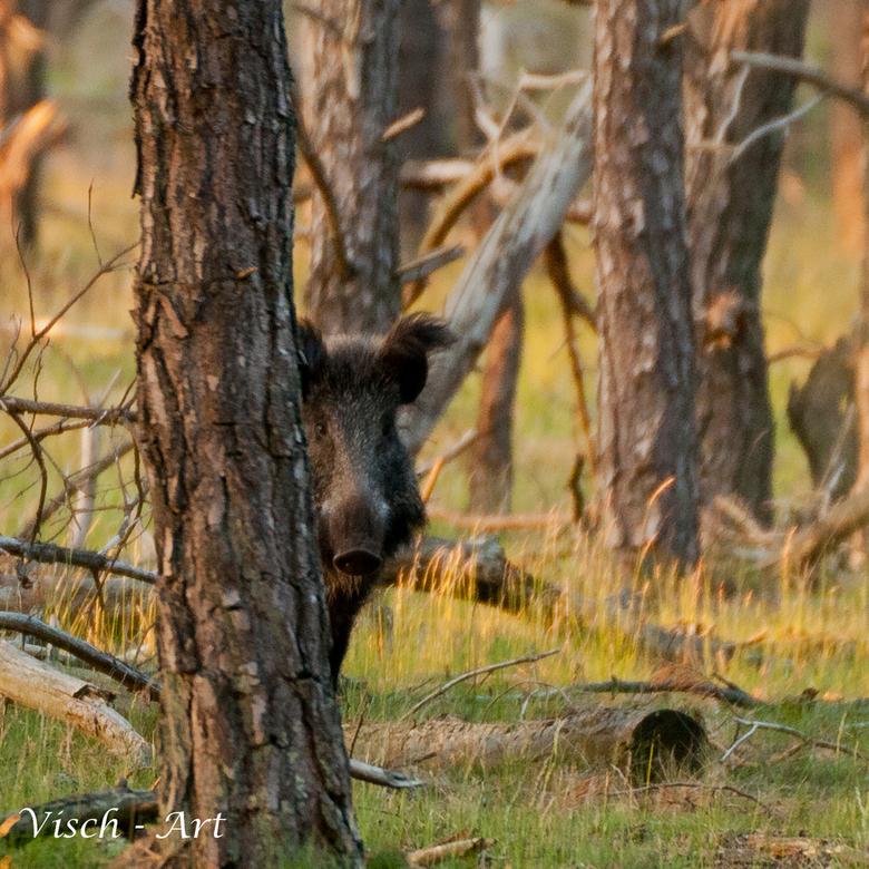 Kiekeboe, ik zie jou lekker wel - Wildzwijn doet graag verstoppertje. Zolang hij daar blijft op een veilige afstand vind ik het prima.<br /> <br />