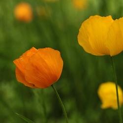 Klaproos - Poppies