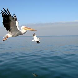 Pelikanen bij Walvisbay