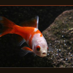 jonge goudvis