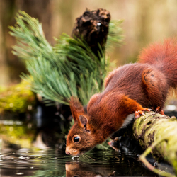 Drinkend eekhoorntje