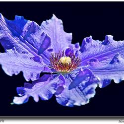 Blauwe Clematis