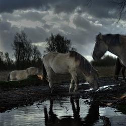 Konikpaarden na de storm