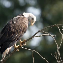 Bald eagle iets dichterbij