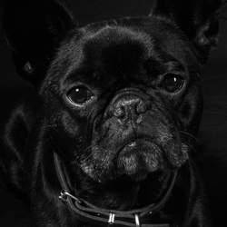 Hugo de Franse Bulldog