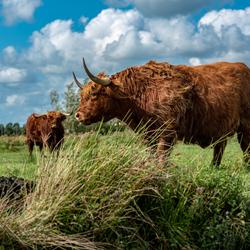 Schotse hooglander Zaans Rietveld