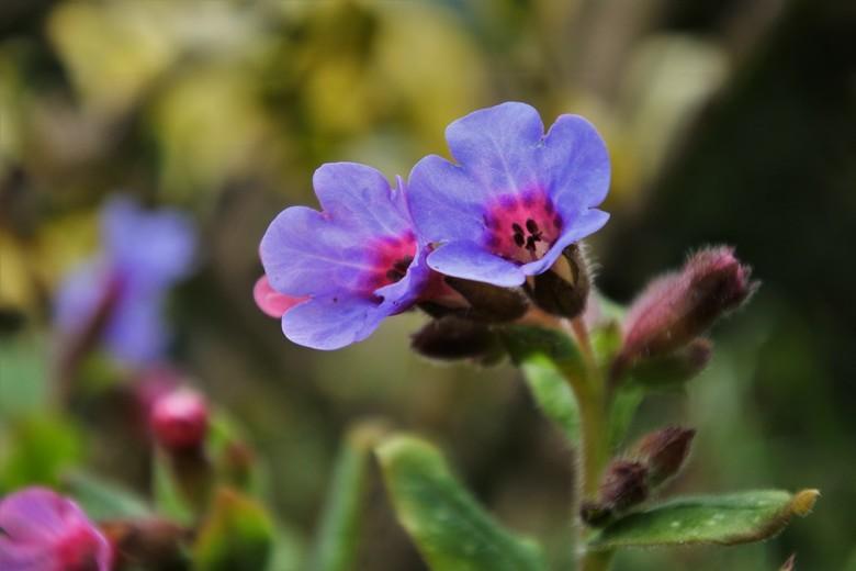 longkruid - Longkruid, veredeld onkruid, komt in het voorjaar bijna als eerste met haar bloemen... Het is genieten als je in de tuin aan het werk bent
