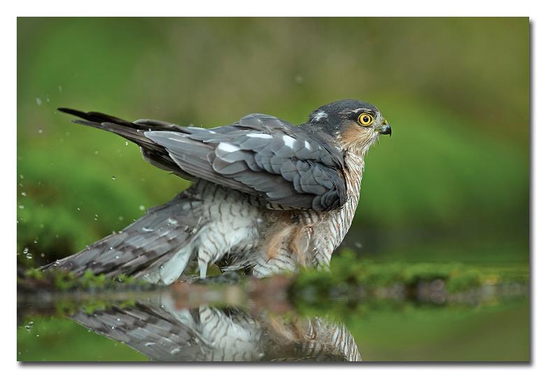Sperwer - een sperwer man die zich even opvrist in het water ( badderen! )<br /> <br /> Effies in het groot bekijken!<br /> <br /> Heel erg bedank