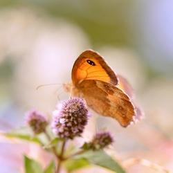 De Vlinder...