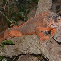 Iguana Inguana (Leguaan)