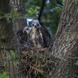 Jonge buizerds in het nest